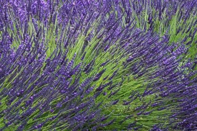 Learn How To Divide Lavender Plants How To Guides Tips And Tricks