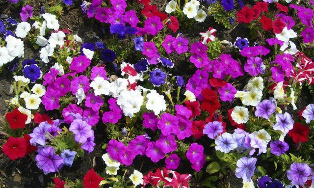 Learn How To Grow Petunias How To Guides Tips And Tricks