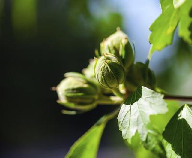 Learn How To Prune Hazelnut Trees How To Guides Tips And Tricks