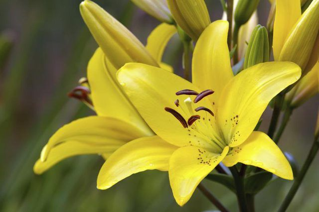 Learn Types Of Lilies How To Guides Tips And Tricks