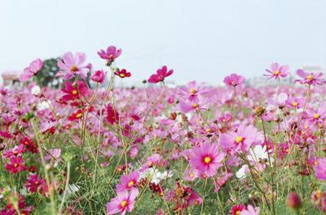 Learn Are Cosmos Flowers Annual Or Perennial How To Guides