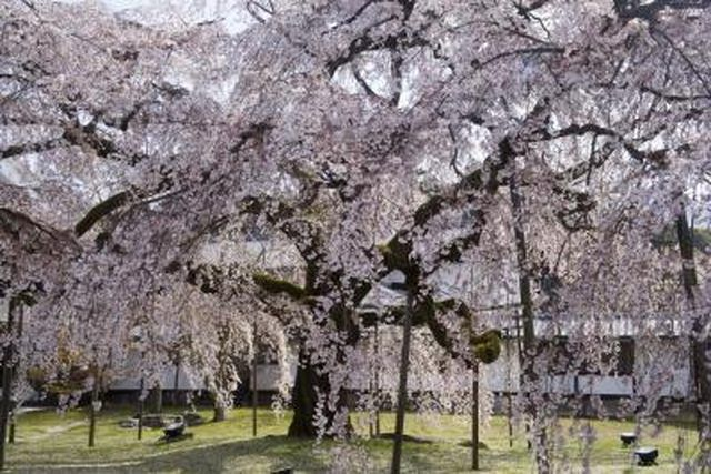 Learn Weeping Cherry Tree Problems How To Guides Tips And Tricks